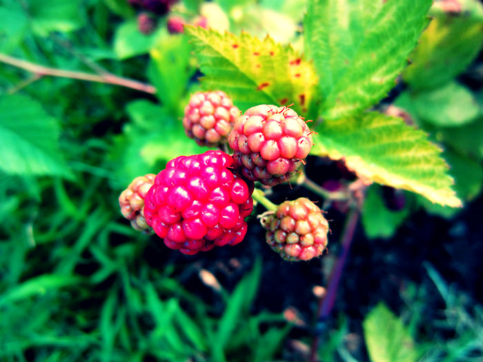 new and almost ripe blackberries