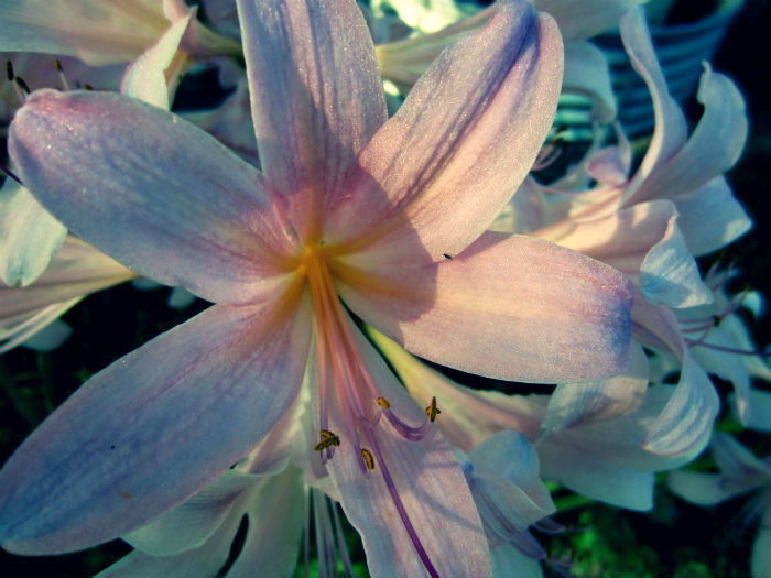 amaryllis belladonna perhaps