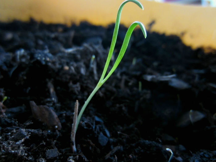 spinach_seedling