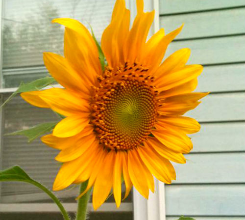 our first sunflower this year